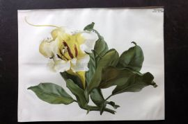 The Garden 1898 Antique Botanical Print. Solandra Grandiflora